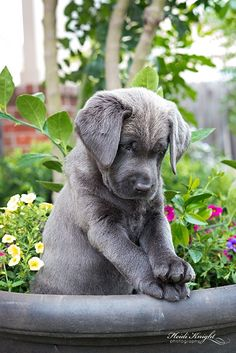 Hearth Melting Labrador Puppies Gallery