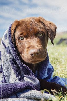 Red Labrador Puppy