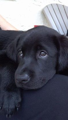 Hearth Melting Black Labrador Puppies Gallery