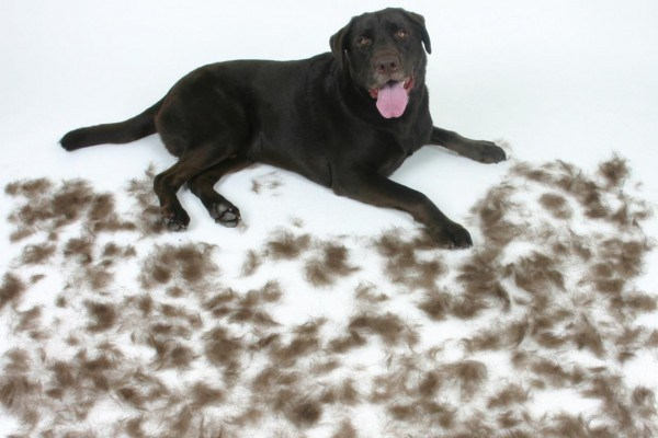 labrador retriever grooming