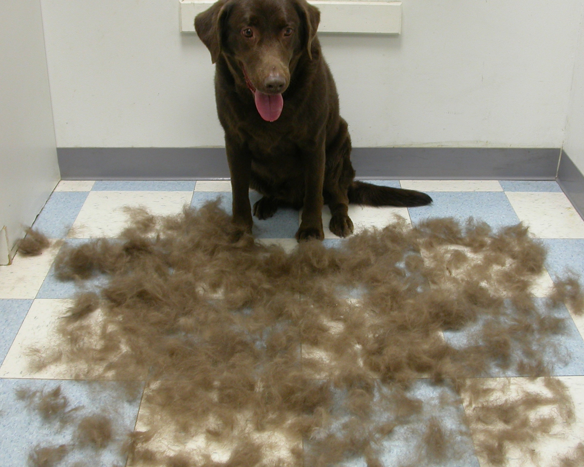 labrador hair shedding