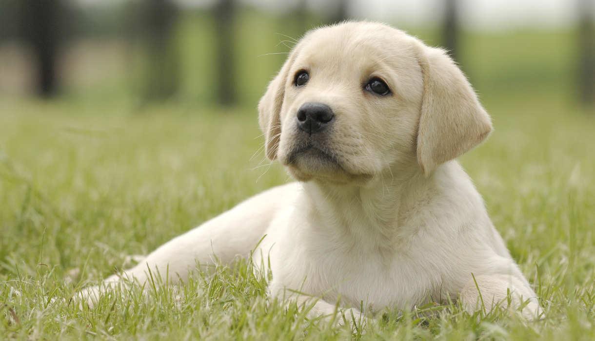 Yellow Labrador Puppy Garden Labrador Stuff