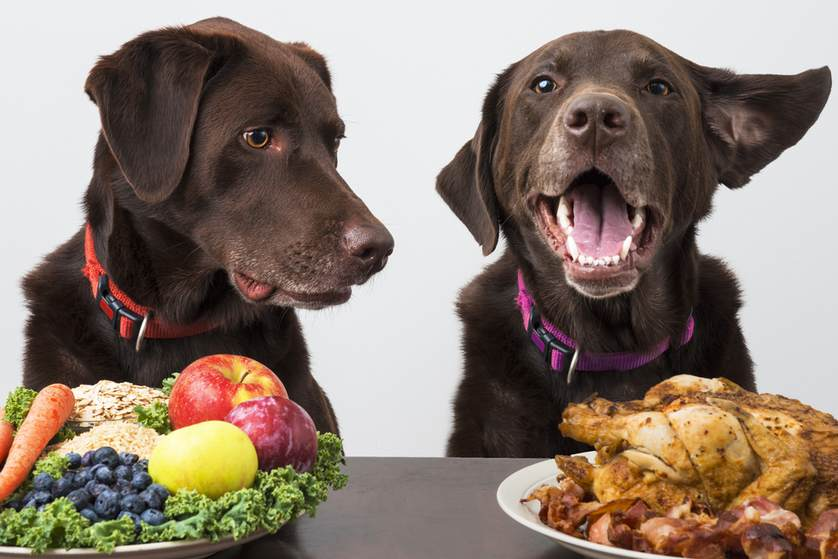 Labrador diet