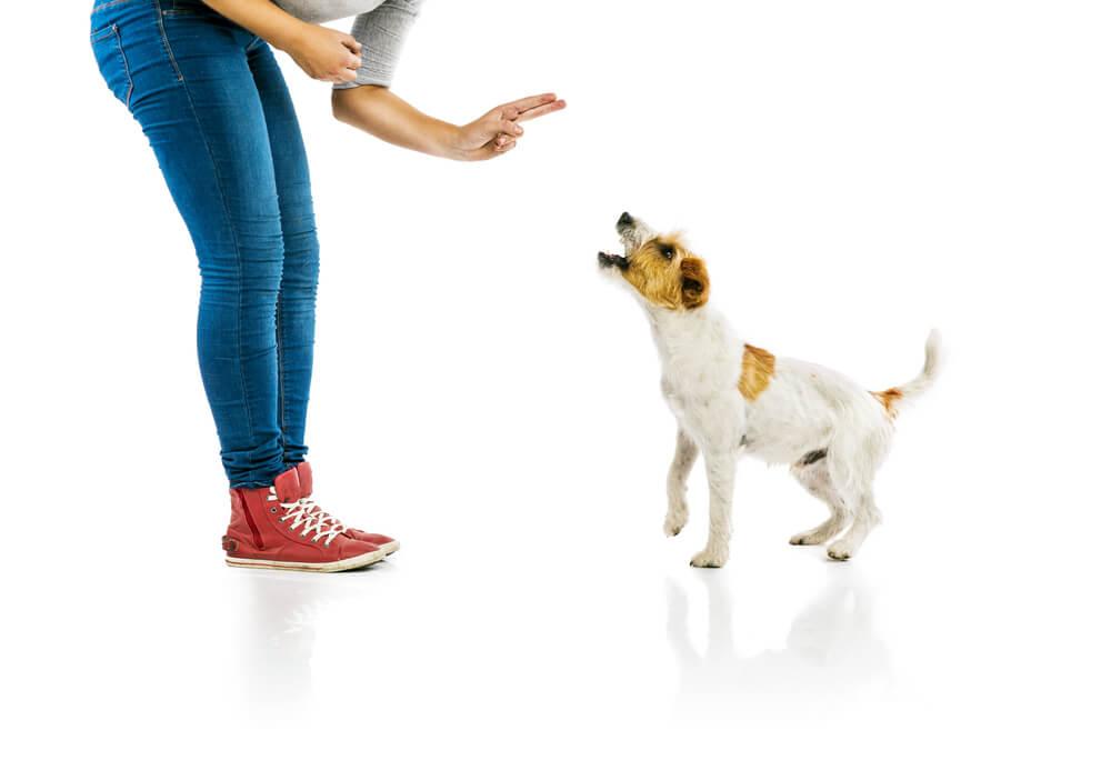 Labrador Puppy Training